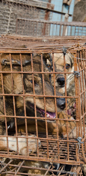 dog-meat-trade